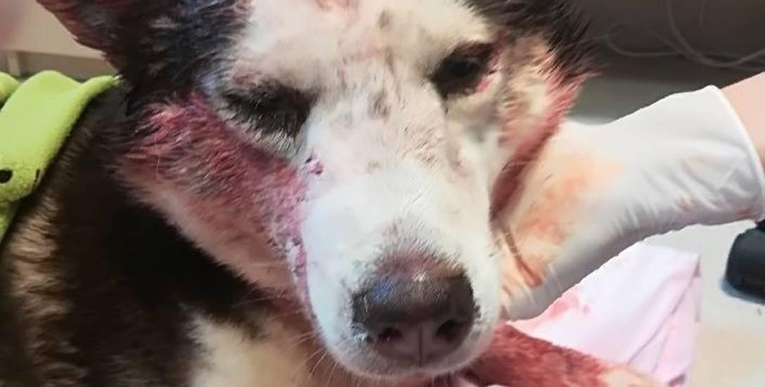 Pies odniósł ciężkie obrażenia głowy.