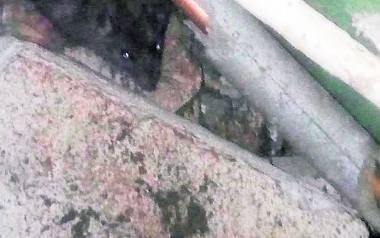 Mieszkańcy boją się szczurów żyjących w ich bloku