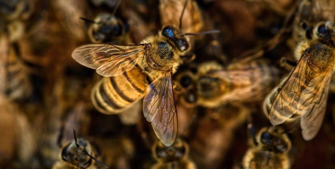 Pszczelarz nie jest w stanie na razie ocenić, ile pszczół padło po opryskach w Mycielinie.