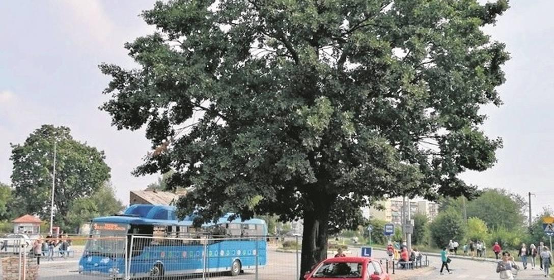 Dąb rosnący przy ul. Zielonej został zasadzony przed wojną. Dla wielu mieszkańców to symbol miasta. Nie chcą jego wycinki