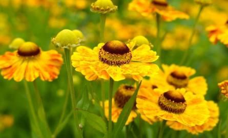 Dzielżany kwitną długo i nie mają szczególnych wymagań uprawowych. Warto je mieć w swoim ogrodzie.
