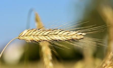 Susza szkodzi finansom rolników