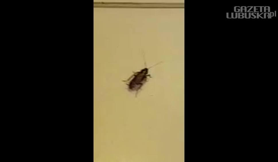 Film do artykułu: Szok! Karaluchy, muchy i szczury w zielonogórskim szpitalu (WIDEO, ZDJĘCIA). Jak szpital w Zielonej Górze walczy z insektami?