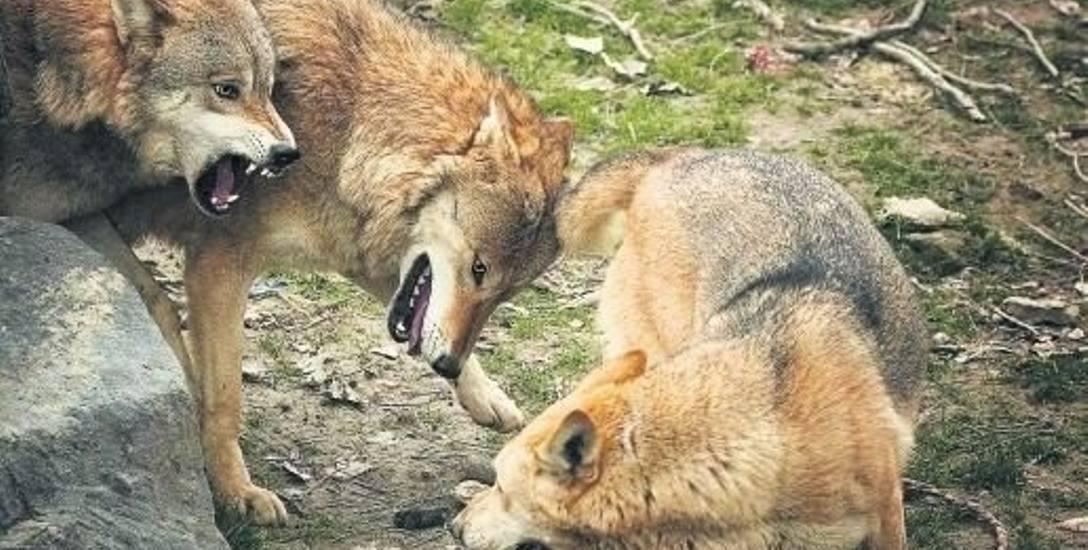 Wójt gminy Porąbka w Beskidach ostrzega ludzi przed wilkami. Czy jednak trzeba obawiać się tych drapieżników?