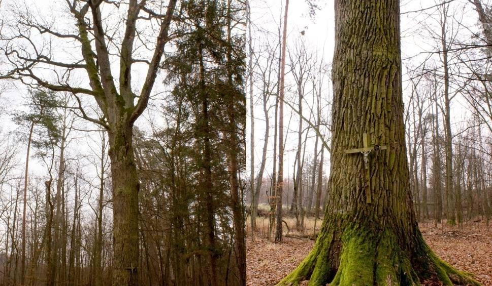 Film do artykułu: Dąb ze Starachowic w krajowej elicie! Ma szansę na tytuł Drzewa Roku 2017!
