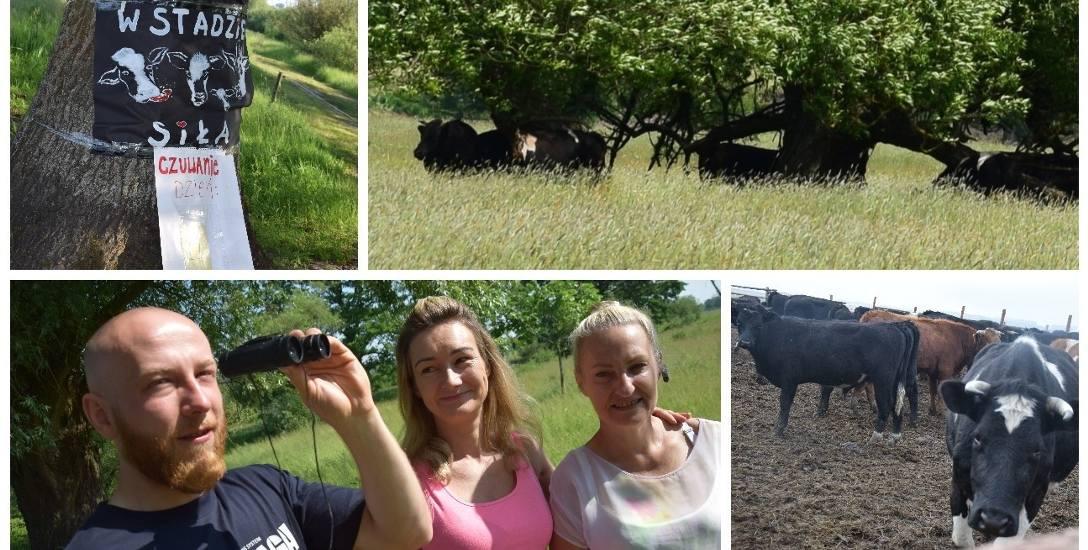 Krowy przebywają w rezerwacie o powierzchni aż 200 hektarów. Czasem trudno jest je zobaczyć. W tym tygodniu pilnowali ich m.in. Jarosław Nowak, Katarzyna