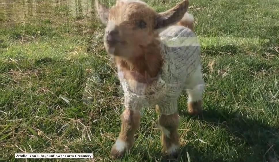 Film do artykułu: Edith, Arthur and Eleanor w mięciutkich swetrach [wideo]