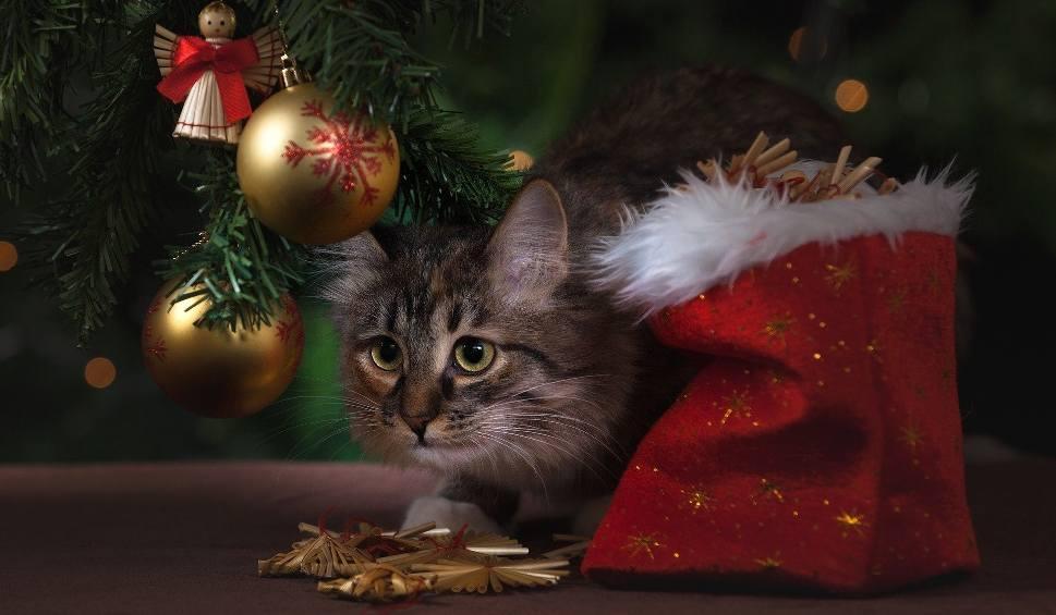 Film do artykułu: Kot, pies i dziecko to główne zagrożenia dla choinki. Sprawdź co zrobić, aby choinka była bezpieczna [GALERIA]