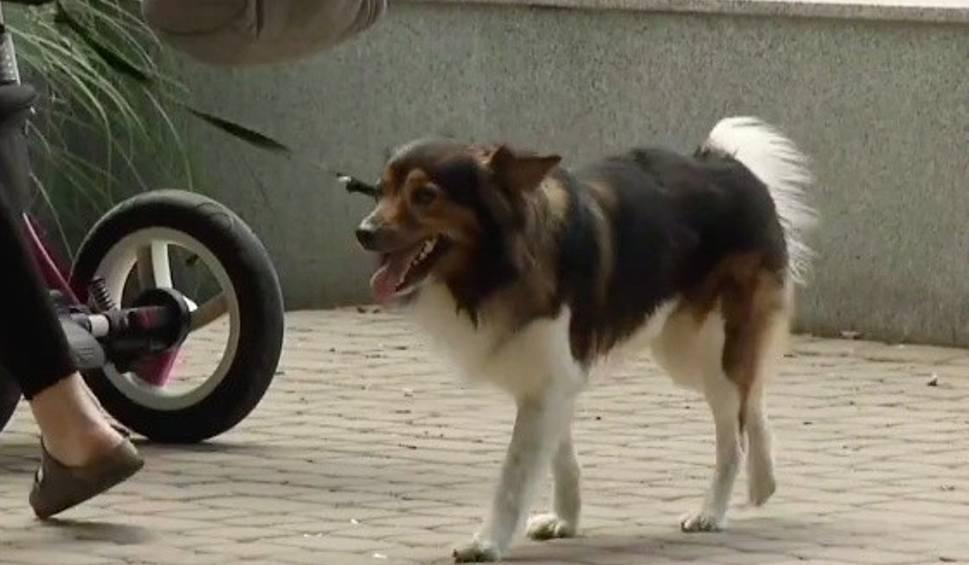"""Film do artykułu: Polski """"zakochany kundel"""" z Rzeszowa. Pies Fifi wskoczył do pociągu i ruszył nad morze do ukochanej suczki [WIDEO]"""
