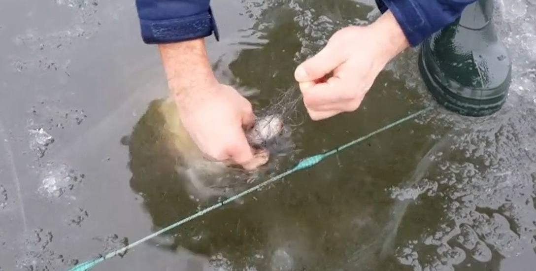 W sieci wpadają także szczupaki, których od stycznia nie można łowić, ponieważ znajdują się w okresie ochronnym. Dzierżawca bagatelizuje sprawę, że giną