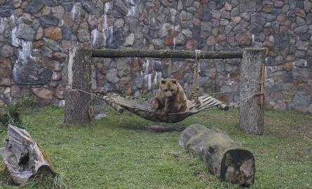 Grześ się buja zamiast spać? Czy niedźwiedzie w Akcent Zoo zapadną w zimowy letarg? [zdjecia]
