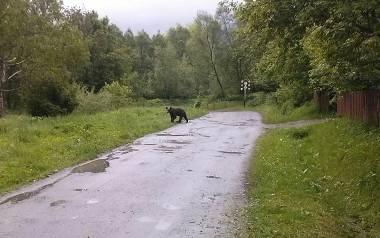 Niedźwiadek grasujący w Przysłupie ma ze dwa lata. U ludzi szuka stołówki. Zdjęcie wykonane przez naszych gospodarzy.