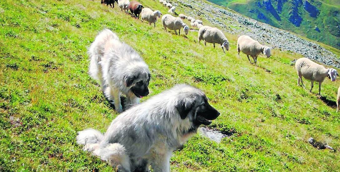 Psy pracujące. Stróże stad z Bałkanów