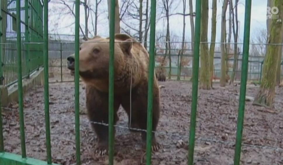 """Film do artykułu: """"Zimy już nie będzie"""". Rumuński niedźwiedź wróży koniec mrozów [wideo]"""