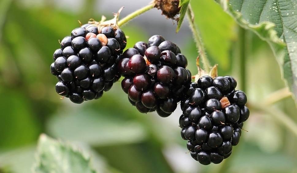 Film do artykułu: Owoce z tego krzaka groźne dla zdrowia! Lista zagrożeń przeraża. Konsekwencją nawet zgon