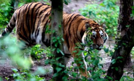Na terenie ogrodu zoologicznego dochodziło do sytuacji, kiedy odwiedzający dręczyli tygrysa.