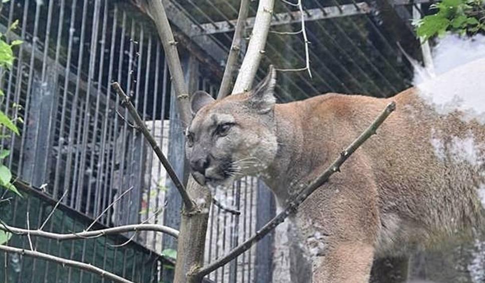 Film do artykułu: Puma Nubia kończy kwarantannę w chorzowskim zoo. Co dalej stanie się z tym drapieżnikiem?