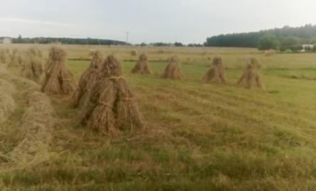Kiedyś pola w woj. lubelskim były usiane takimi snopkami. Dziś to już rzadkość (ZDJĘCIA)