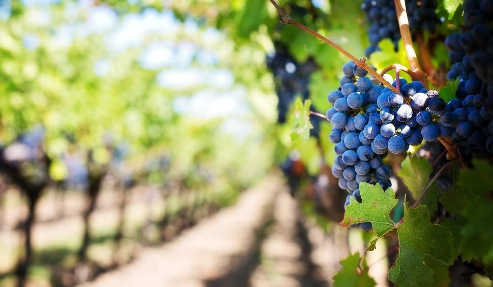Film do artykułu: Winobranie 2018. Poznaj harmonogram winobraniowych atrakcji POLREGIO