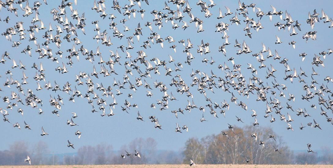 Ponad Mierzeją Wiślaną corocznie przelatują miliony ptaków, tworząc spektakularne zjawisko