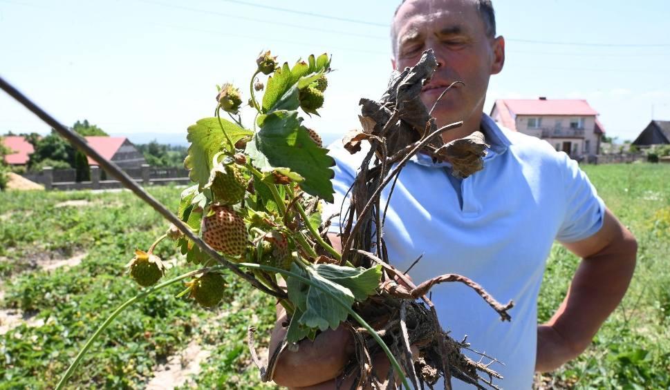 Film do artykułu: Dramat plantatorów z podkieleckich Bielin. Truskawki gotują się na polach. Będą ogromne straty (WIDEO, ZDJĘCIA)