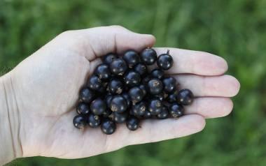 Czarna porzeczka - wielka moc małych owoców