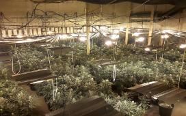 Potężna plantacja marihuany pod Skierniewicami [AKTUALIZACJA, ZDJĘCIA]