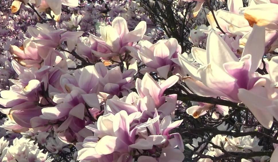 Film do artykułu: Magnolia w ogrodzie. W Ogrodzie Botanicznym w Powsinie rośnie wiele gatunków magnolii