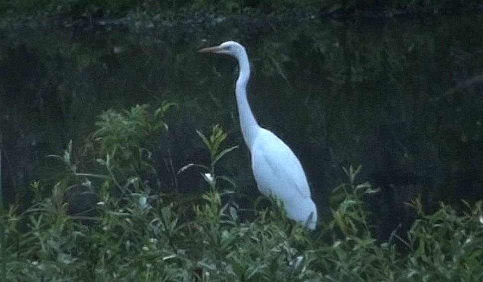 Film do artykułu: Sensacja ornitologiczna. Czapla biała na kieleckim zalewie