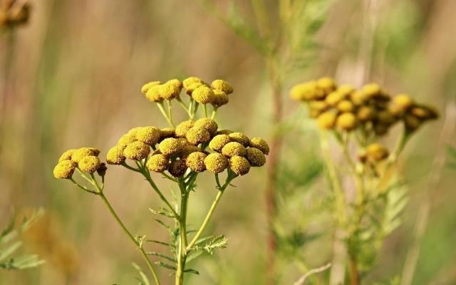 Wrotycz wydziela charakterystyczny zapach, przypominający zapach kamfory. Aromat ten skutecznie odstrasza nie tylko kleszcze, ale też owady, takie jak: