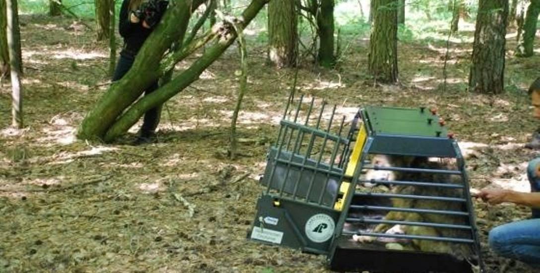 """W okolice Wielkich Radowisk wilk """"Rado"""" został przewieziony w specjalnej klatce dla drapieżników"""