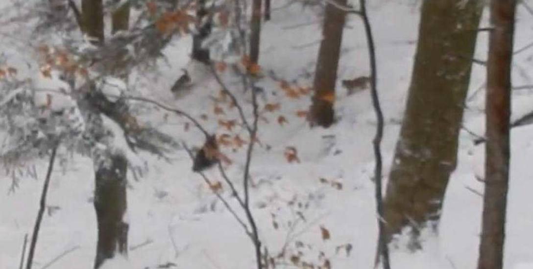 Leśniczy obronił rodzinę niedźwiedzi przed wilkami. Udostępnił film na profilu Nadleśnictwa Baligród