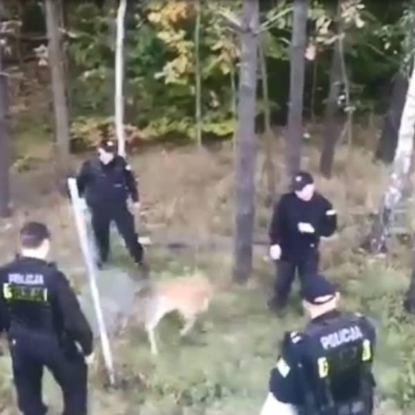 Policjanci uwolnili zaplątanego w ogrodzeniu młodego samca daniela [wideo]
