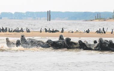 Foki są pod ścisłą ochroną. Za zabicie tych zwierząt grozi do trzech lat więzienia