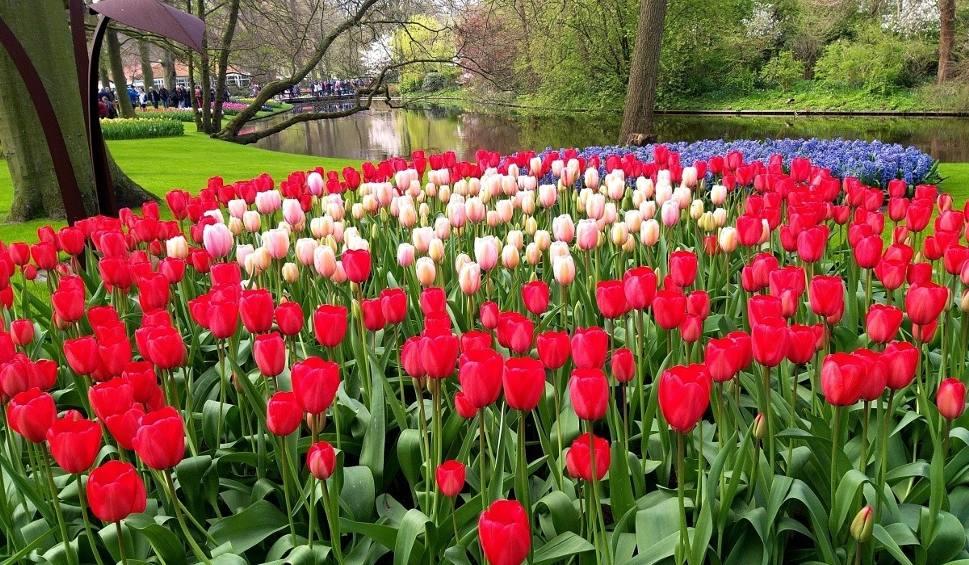 Film do artykułu: Keukenhof w Holandii. Tu każdego roku rozkwita 7 mln kwiatów. Zobacz, jak wygląda jeden z najpiękniejszych ogrodów na świecie