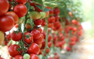 Te 12 warzyw i owoców, zawiera najwięcej pestycydów. Na liście tzw. brudnej 12 znalazły się m.in. pomidory, ziemniaki, szpinak