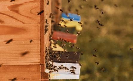 """Uwaga na """"pijane"""" pszczoły! Właśnie teraz takich owadów jest najwięcej"""