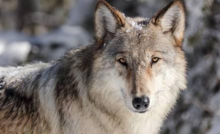 To jednak nie wilki są odpowiedzialne za rzeź danieli w Zbychowie (gmina Wejherowo)? [UWAGA DRASTYCZNE ZDJĘCIA]