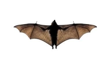 Mówi się o nich: diabelskie zwierzęta. Niektóre gatunki żywią się krwią. Śpią do góry nogami. Nietoperze są naprawdę wyjątkowe!