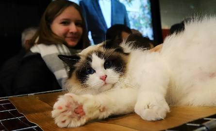 Pokaz kotów rasowych w łódzkiej w Sukcesji. Ponad 50 ras kotów i porady weterynaryjne [ZDJĘCIA]
