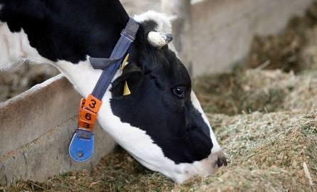 """Ceny skupu mleka. """"Jest źle"""" - producenci komentują stawki, które są im oferowane"""