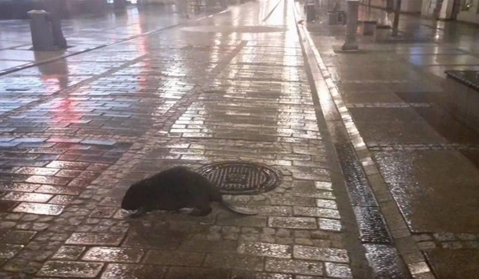 Film do artykułu: Bóbr wędrował po centrum Kielc. Przechodnie chcieli mu robić zdjęcia [WIDEO]