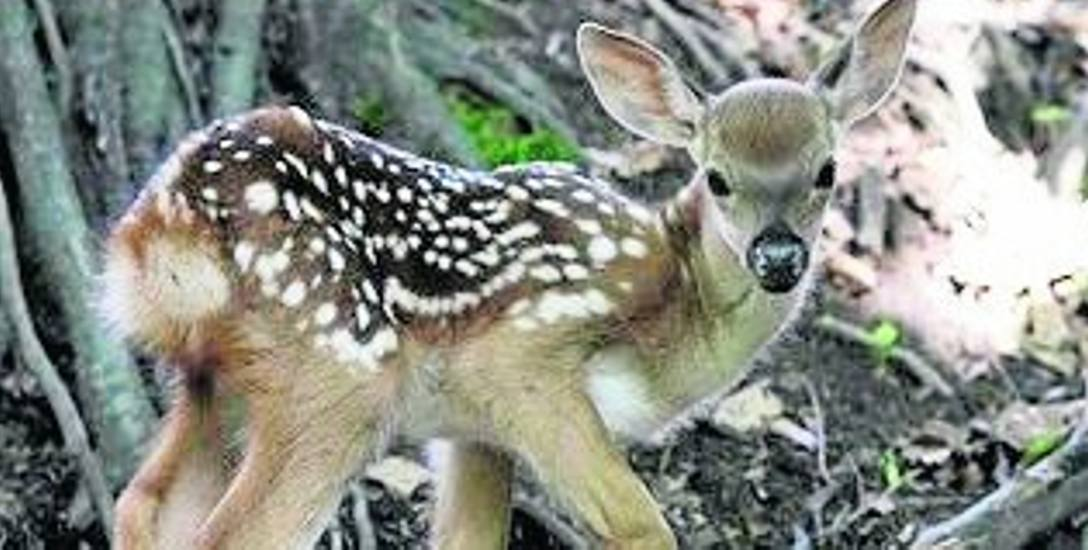W Leśnym Parku spotkamy m.in. jelenie wschodnie