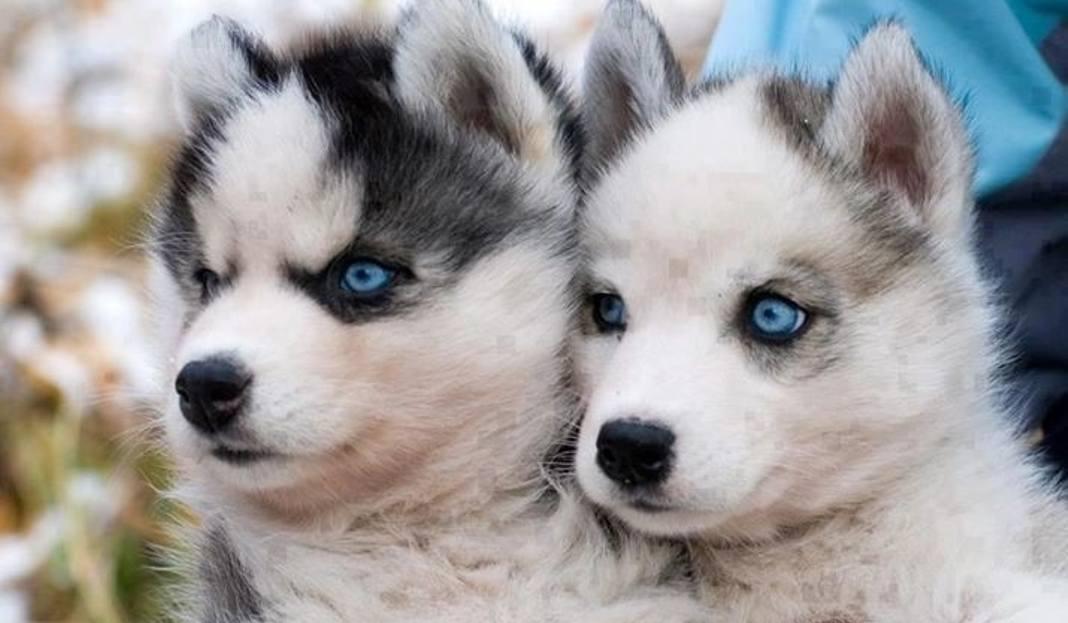 Pies Pomsky Mieszaniec Szpica Miniaturowego I Psa Husky Podbija