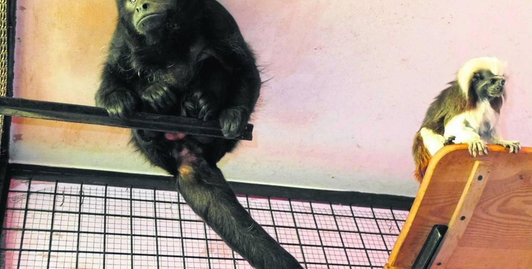 Mruk (czarny) i Wampirka to jedna z najbardziej zgranych par w opolskim zoo.