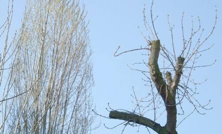 Moda na przycinanie drzew