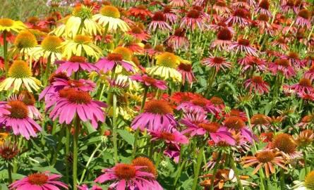 Ozdobne odmiany jeżówek mają kwiaty w różnych kolorach. Są prawdziwą ozdobą letnich rabat.