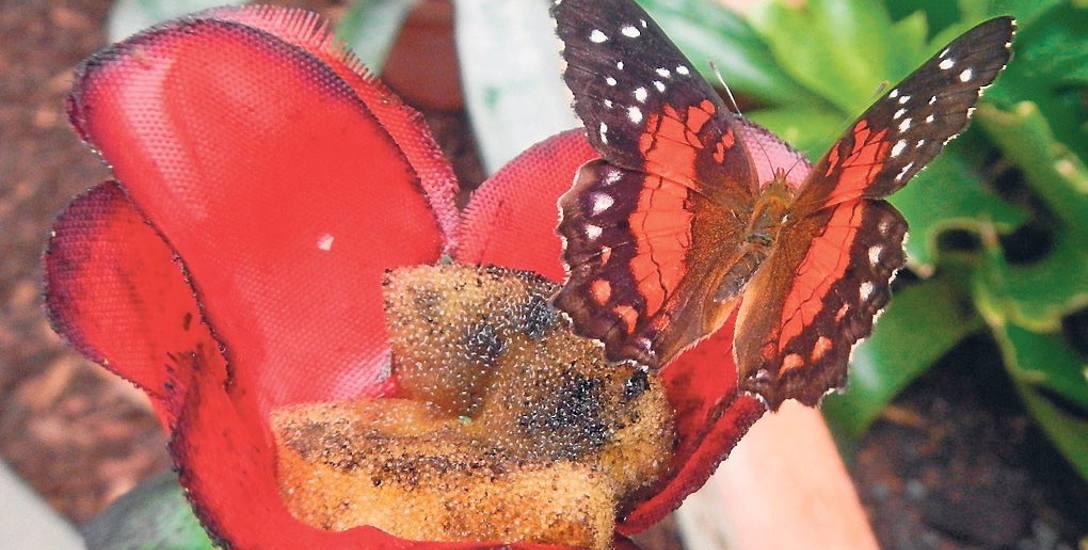 Kwiaty przyciągają kolorem. Na gąbce motyl Cethosia biblis znajdzie coś pysznego: wodę z cukrem