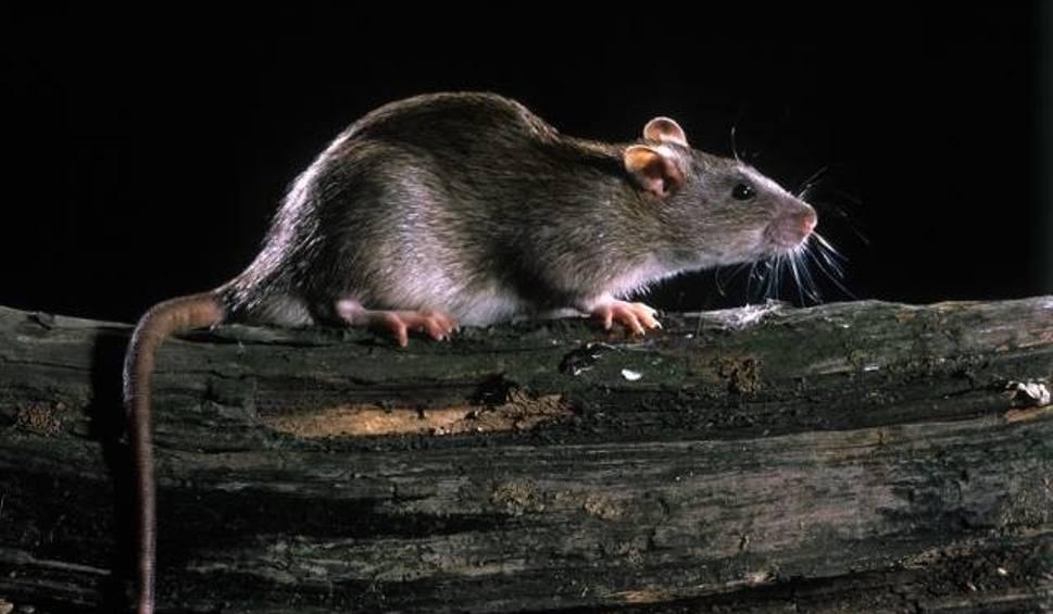 Film do artykułu: Zje świecę, skoczy z wysokości 3 piętra, sprzeda chorobę. Szczur kontra rolnik