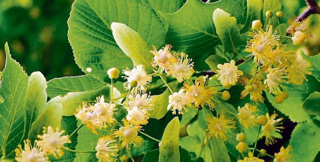 Jak leczyć nerwicę i bezsenność  preparatami ziołowymi